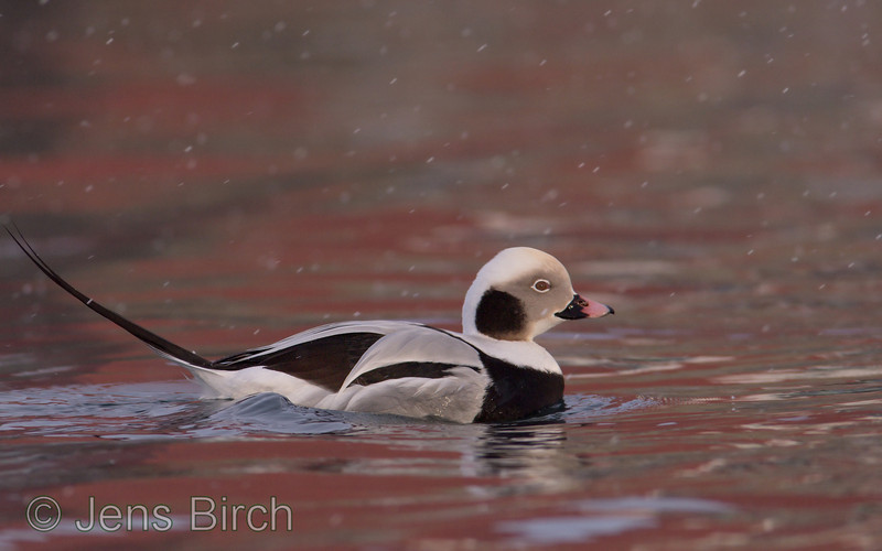 Long-tailed duck (<i>Clangula hyemalis</i>) (alfågel) as beauty as it is! Båtsfjord, Varanger peninsula, Norway, March 2013
