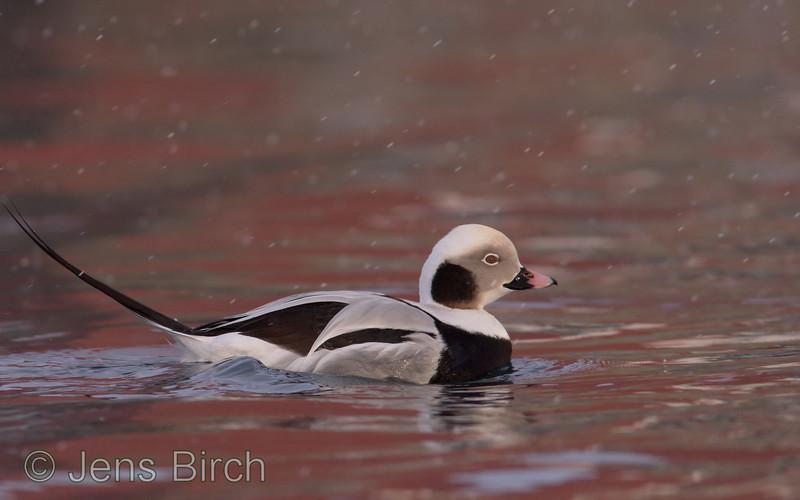 Long-tailed duck (<i>Clangula hyemalis</i>) (alfågel) as beauty as it is! Båtsfjord, Varanger peninsula, Norway, March 2013