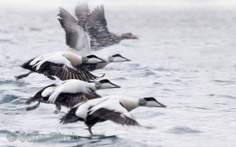 Eiders (<i>Somateria mollissima</i>) taking off from the waters of Båtsfjord, Varanger peninsula, Norway, March 2013.  Disturbing elements, without relations to the main subject, may have been removed in order to enhance the artistic merits of this image.