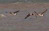 Greylag - Canada goose hybrids