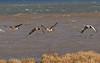 Greylag - Canada goose hybrids flying alongside a normal greylag goose (Anser anser)