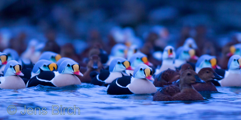 A few king eiders (<i>Somateria spectabilis</i>) (praktejder) in the blue hour before sunrise in Båtsfjord, Varanger peninsula, March 2013.