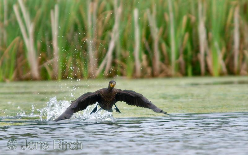 Cormorant (<i>Phalacrocorax carbo</i>) (storskarv) taking off. Smedstadsdammarna, August 09