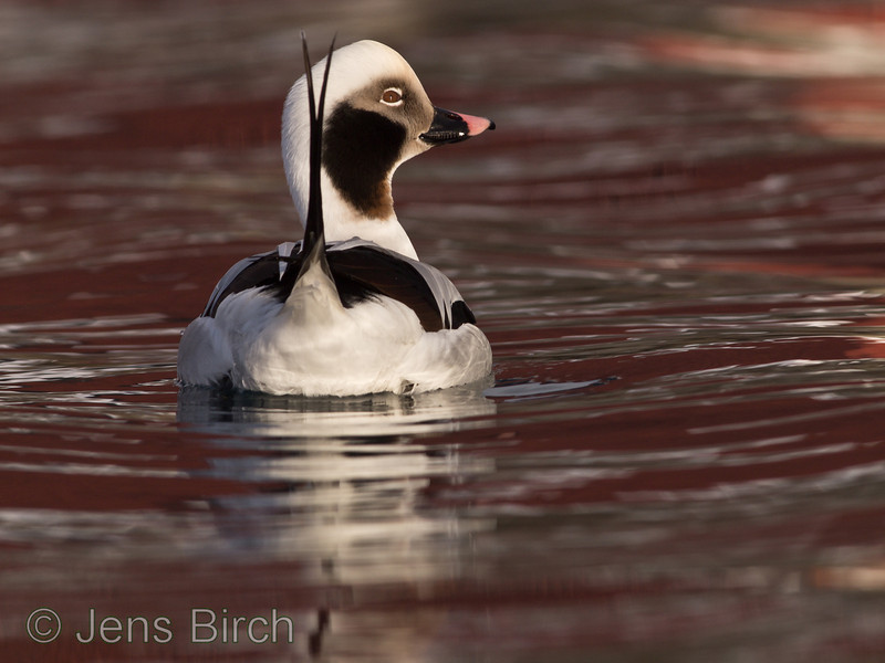 Long-tailed duck (<i>Clangula hyemalis</i>) (alfågel) challenging anyone for a beauty contest in Båtsfjord, Varanger peninsula, Norway, March 2013