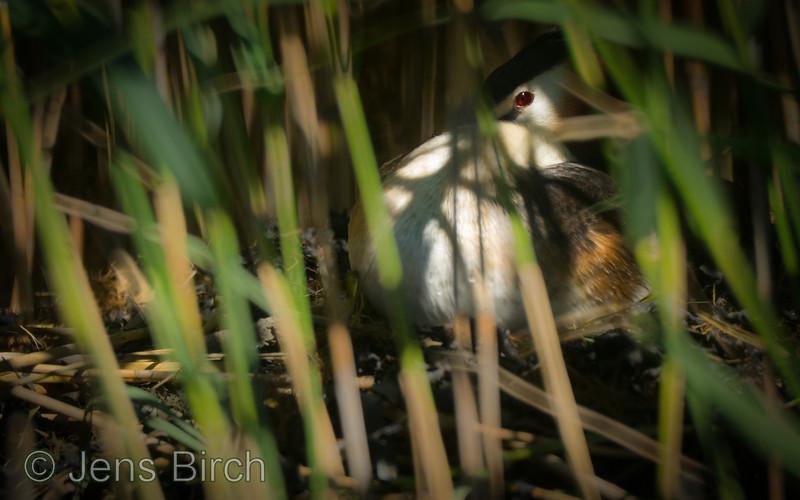Skäggdopping ruvar. / Crested grebe on the nest.<br /> Karlskrona, Juni 2014