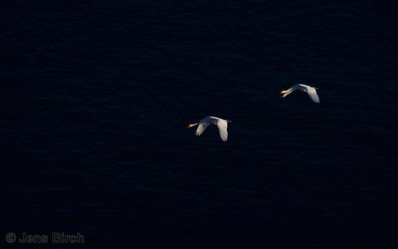 Mute swans (Cygnus olor) (knölsvanar) over the sea at Stenshuvud National Park, Sweden, December 2012.