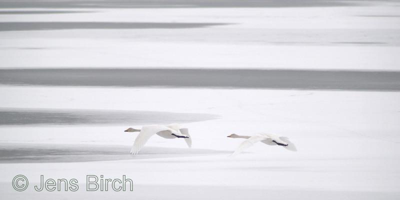 Whooper swans (<i>Cygnus cygnus</i>), Sångsvan, Lake Roxen, Sweden, February 2007  Copyright Jens Birch