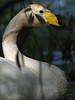 Whooper swan (Cygnus cygnus) (Sångsvan), Juli 2008, Smedstad, Sweden.