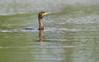 Cormorant (<i>Phalacrocorax carbo</i>) (storskarv) fishing. Smedstaddammarna, August 09