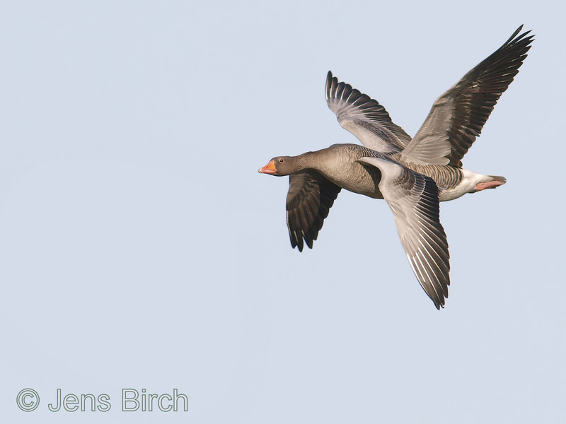 "Two greylag geese (Anser anser) in an unlikely relative position making them look like they are one unlikely bird. No photoshopping of these birds here!<br /> <br /> (Some geese surrounding this ""4-winged"" one were cloned out of the frame to give a stronger visual statement.)"