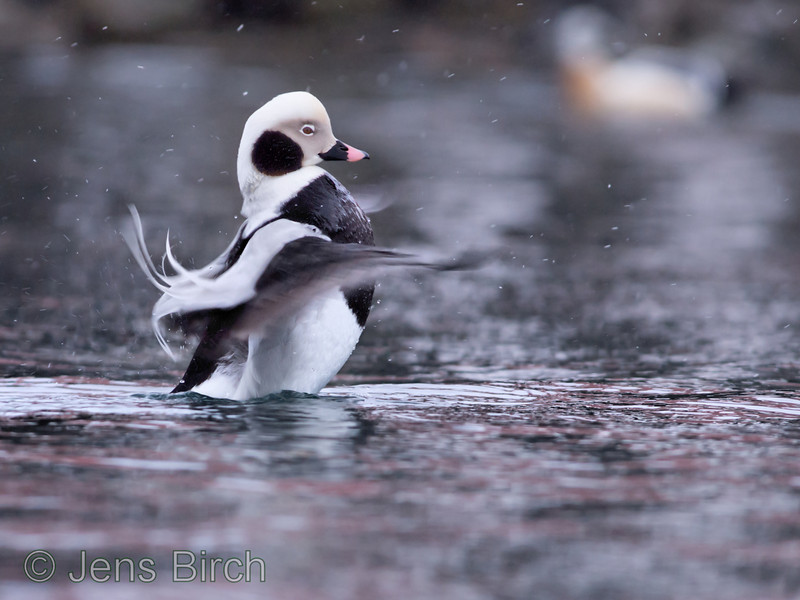 Long-tailed duck (<i>Clangula hyemalis</i>) (alfågel) stretching wings in front of a steller's eider in Båtsfjord, Varanger peninsula, Norway, March 2013