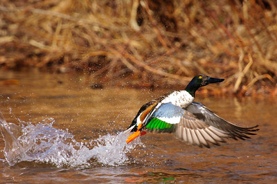 Northern Shoveler-143, Denver, CO