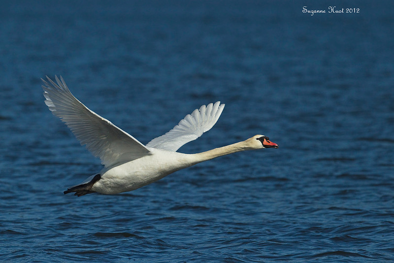 Mute Swan in flight .