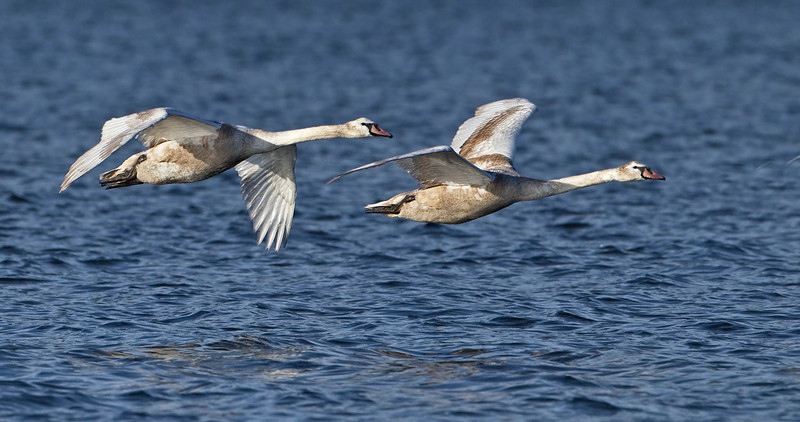 Juvenile Mute Swans in flight.