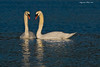 Mute Swan Male and Female .
