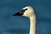 Portrait of Trumpeter Swan,