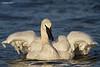 Trumpeter swan having a bath.