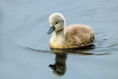 Cygnet on pond