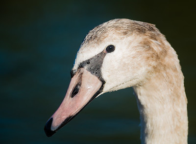 First year mute swan (autumn)
