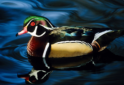Wood Duck-102, Denver, CO