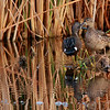 Blue-winged Teal (30)