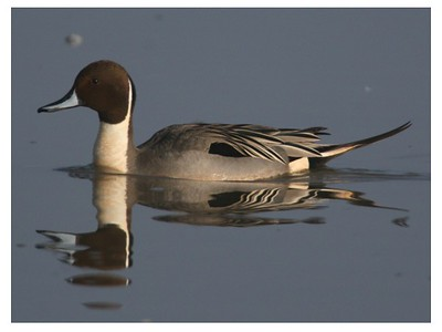 Northern pintail drake at Harold Crane Waterfowl Management Area. Photo by Phil Douglass
