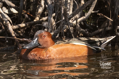 Cinnamon teal- new species for me!