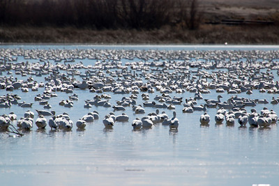 Snow geese in Delta, UT during the annual Snow Goose Festival. 2-22-14. Photo by Mike Christensen, Utah Division of Wildlife Resources.