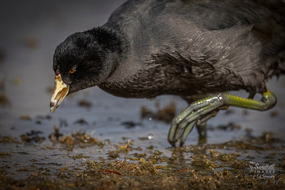 American coot up close and personal