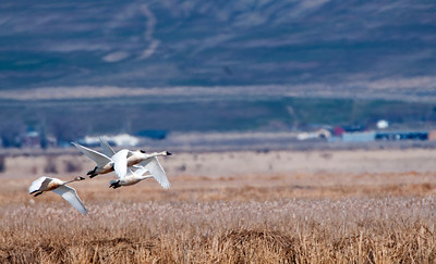 Tundra swans at Salt Creek Waterfowl Management Area. 03-05-14, photo by Mike Christensen, Utah Division of Wildlife Resources