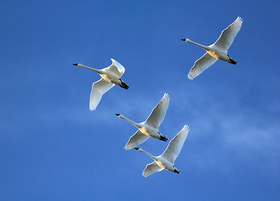 Swans flying into marshes