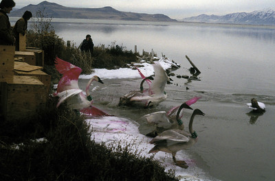 Releasing trumpeter swans at Farmington Bay, Great Salt Lake, Utah