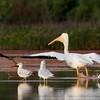 American White Pelican (25)