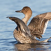 Female Northern Pintail