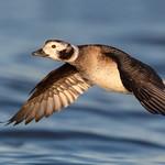 Long-tailed duck (Hen)