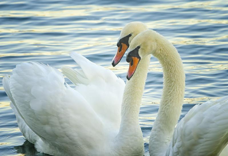 Mute Swan Pair