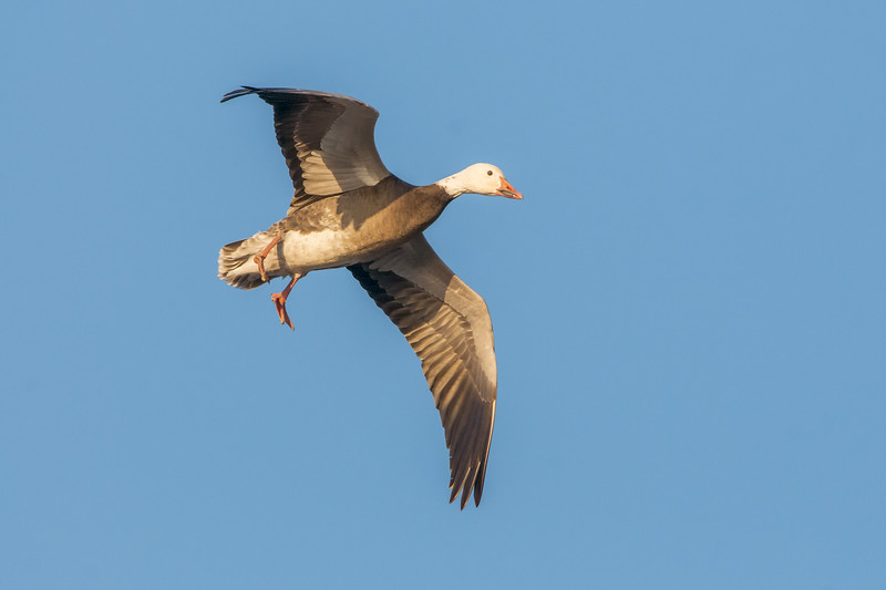 Snow Goose - In Flight