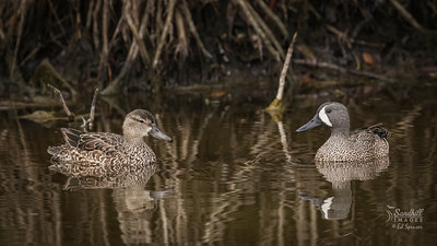 Pair of blue-winged teals