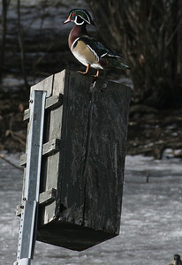 Wood duck on an old nest box.  Photo taken 12-26-06 by Phil Douglass, Utah Division of Wildlife Resources.