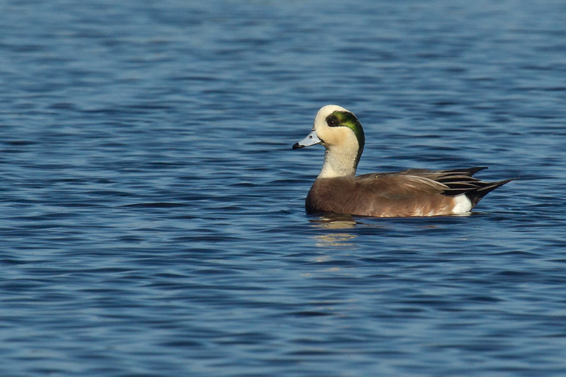 Widgeon morph-8538