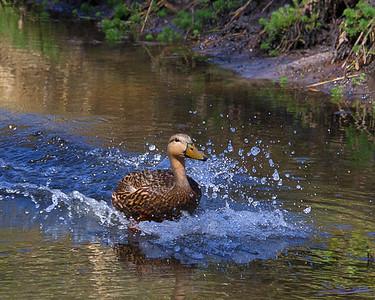 Black Duck 2