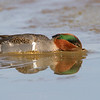 Green-winged Teal (click on image to see large version)