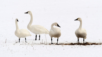 Tundra swans standing in the snow.  Photo by Phil Douglass, Utah Division of Wildlife Resources.