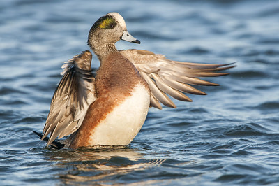 American Wigeon - Wing Flap