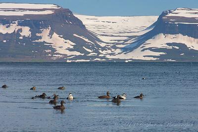 Common Eiders Vigur, Iceland