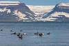 Common Eiders<br /> Vigur, Iceland