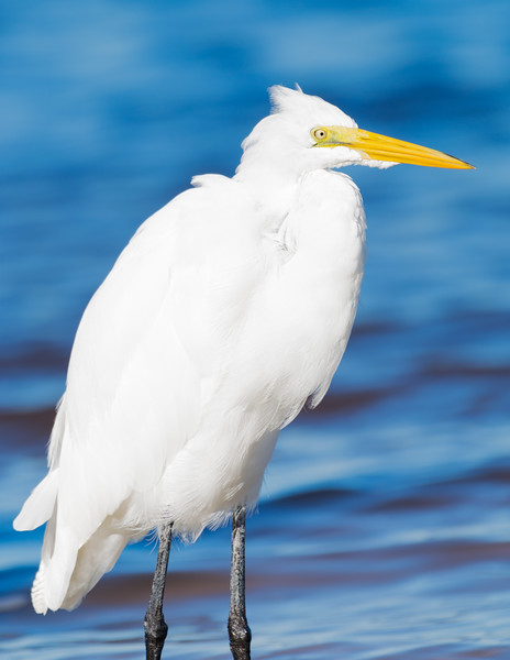 Snowy Egret (Cape Coral) 2