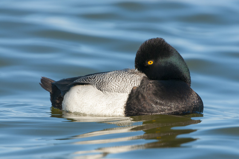 Lesser Scaup Drake - Tucked In
