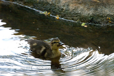 Baby duck - Disney's Animal Kingdom - Orlando, FL