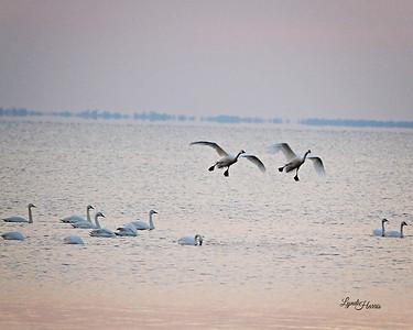 Tundra Swan 2